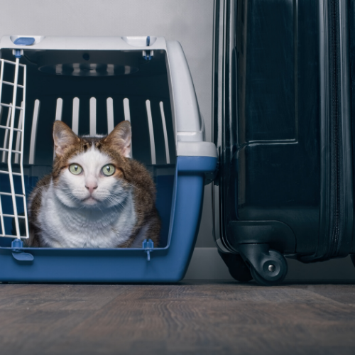 cat - pet travel